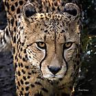 Köln Zoo - Gepard