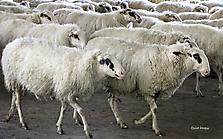 Tiere - Schafherde