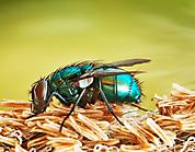 Makro Fauna Fliege 0000