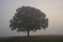 Morgennebel - Mucher Eiche
